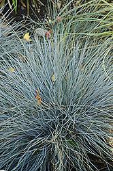 Blue Fescue (Festuca glauca) at Roger's Gardens
