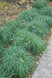 Blue Sedge (Carex glauca) at Roger's Gardens