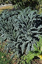 Dinosaur Kale (Brassica oleracea var. sabellica 'Lacinato') at Roger's Gardens
