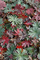 Bloody Cranesbill (Geranium sanguineum) at Roger's Gardens