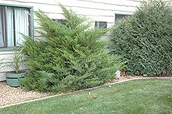 Mint Julep Juniper (Juniperus chinensis 'Mint Julep') at Roger's Gardens