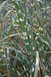 Zebra Grass (Miscanthus sinensis 'Zebrinus') at Roger's Gardens