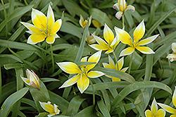 Daystemon Tulip (Tulipa tarda) at Roger's Gardens