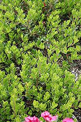 Bearberry (Arctostaphylos uva-ursi) at Roger's Gardens