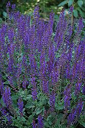 May Night Sage (Salvia x sylvestris 'May Night') at Roger's Gardens