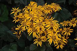 Britt Marie Crawford Rayflower (Ligularia dentata 'Britt Marie Crawford') at Roger's Gardens
