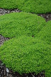 Irish Moss (Sagina subulata) at Roger's Gardens