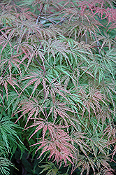 Cutleaf Japanese Maple (Acer palmatum 'Asplenifolium') at Roger's Gardens