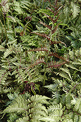 Japanese Painted Fern (Athyrium nipponicum 'Metallicum') at Roger's Gardens
