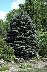 Fat Albert Blue Spruce (Picea pungens 'Fat Albert') at Roger's Gardens