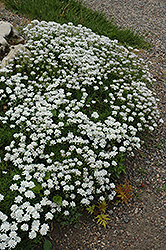 Little Gem Candytuft (Iberis sempervirens 'Little Gem') at Roger's Gardens