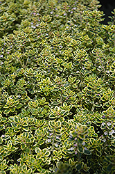 Lemon Thyme (Thymus x citriodorus) at Roger's Gardens
