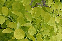 Winecraft Gold Smokebush (Cotinus coggygria 'MINCOJAU3') at Roger's Gardens
