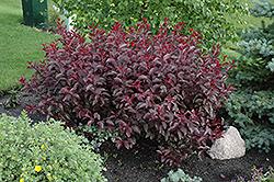Purpleleaf Sandcherry (Prunus x cistena) at Roger's Gardens