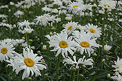 Shasta Daisy (Leucanthemum x superbum) at Roger's Gardens