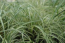 Evergold Variegated Japanese Sedge (Carex oshimensis 'Evergold') at Roger's Gardens
