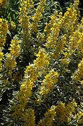 Golden Alexander Loosestrife (Lysimachia punctata 'Golden Alexander') at Roger's Gardens