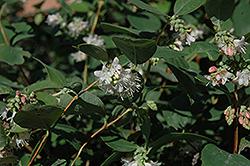 Snowberry (Symphoricarpos albus) at Roger's Gardens
