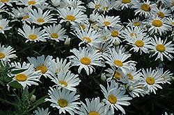 Silver Princess Shasta Daisy (Leucanthemum x superbum 'Silver Princess') at Roger's Gardens