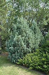 Wichita Blue Juniper (Juniperus scopulorum 'Wichita Blue') at Roger's Gardens