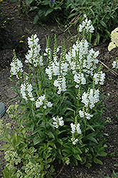 Miss Manners Obedient Plant (Physostegia virginiana 'Miss Manners') at Roger's Gardens