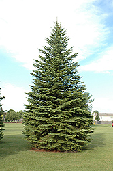 Colorado Spruce (Picea pungens) at Roger's Gardens