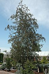 Purple Rain Birch (Betula pendula 'Purple Rain') at Roger's Gardens