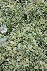 Druett's Variegated Campion (Silene uniflora 'Druett's Variegated') at Roger's Gardens