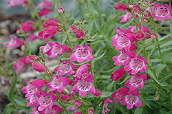 Red Rocks Beard Tongue (Penstemon x mexicali 'Red Rocks') at Roger's Gardens