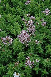 Dwarf Oregano (Origanum vulgare 'Compactum') at Roger's Gardens