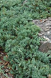 Blue Rug Juniper (Juniperus horizontalis 'Wiltonii') at Roger's Gardens