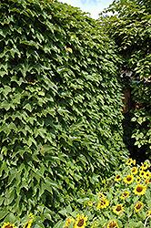 Boston Ivy (Parthenocissus tricuspidata) at Roger's Gardens