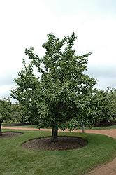 20th Century Pear (Pyrus pyrifolia 'Nijisseiki') at Roger's Gardens