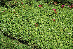 John Creech Stonecrop (Sedum spurium 'John Creech') at Roger's Gardens