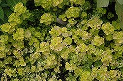 Aureum Crispum Oregano (Origanum vulgare 'Aureum Crispum') at Roger's Gardens