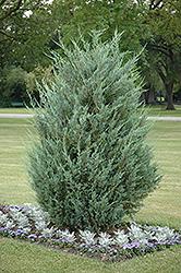 Moonglow Juniper (Juniperus scopulorum 'Moonglow') at Roger's Gardens