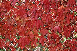 Englemann Ivy (Parthenocissus quinquefolia 'var. englemannii') at Roger's Gardens