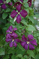 Etoile Violette Clematis (Clematis 'Etoile Violette') at Roger's Gardens