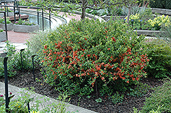 Japanese Flowering Quince (Chaenomeles japonica) at Roger's Gardens