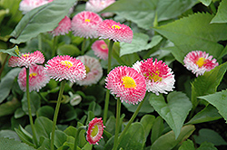 Bellisima Rose English Daisy (Bellis perennis 'Bellissima Rose') at Roger's Gardens