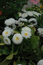 Bellisima White English Daisy (Bellis perennis 'Bellissima White') at Roger's Gardens