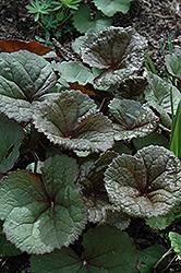 Dark Beauty Rayflower (Ligularia dentata 'Dark Beauty') at Roger's Gardens