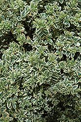 Variegated Boxwood (Buxus sempervirens 'Variegata') at Roger's Gardens