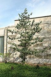 Japanese White Pine (Pinus parviflora) at Roger's Gardens