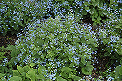 Siberian Bugloss (Brunnera macrophylla) at Roger's Gardens