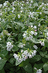 Sissinghurst White Lungwort (Pulmonaria 'Sissinghurst White') at Roger's Gardens
