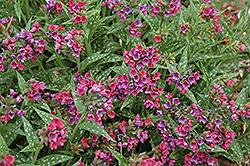 Raspberry Splash Lungwort (Pulmonaria 'Raspberry Splash') at Roger's Gardens