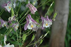 Common Columbine (Aquilegia vulgaris) at Roger's Gardens