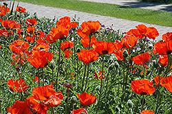 Brilliant Poppy (Papaver orientale 'Brilliant') at Roger's Gardens