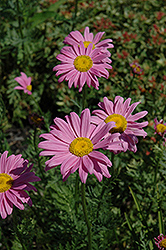 Robinson's Pink Painted Daisy (Tanacetum coccineum 'Robinson's Pink') at Roger's Gardens